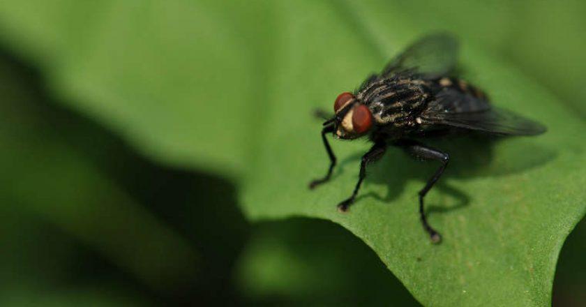 mosca negra perales plagas